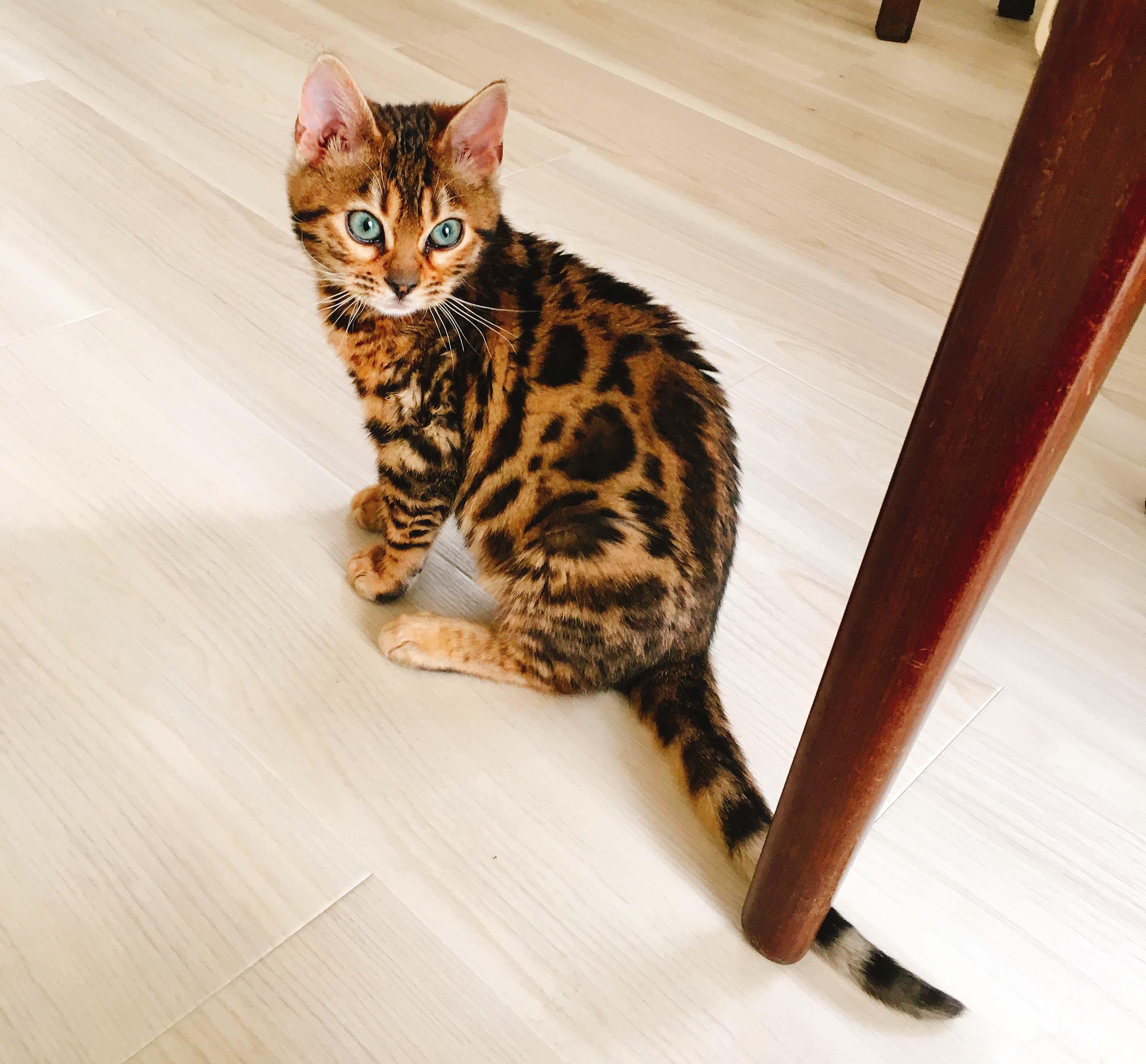 ベンガル猫のうーちゃん