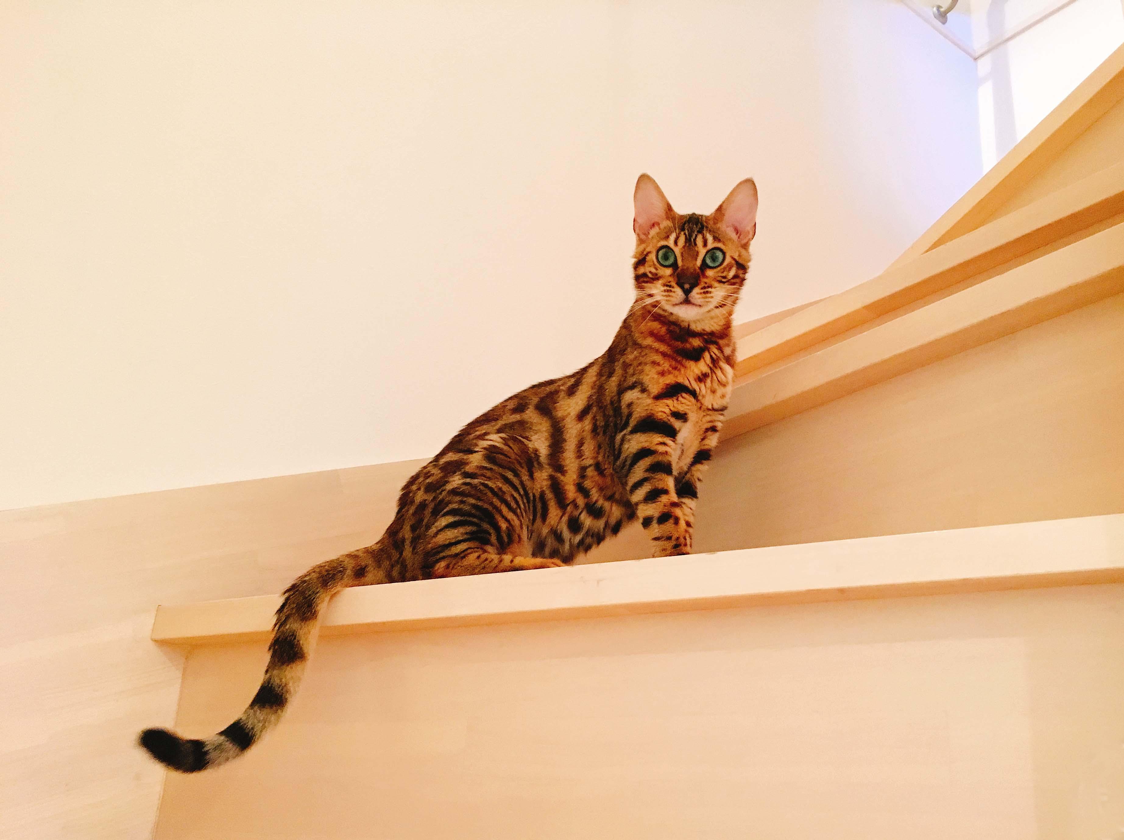 ベンガル猫(うずら)