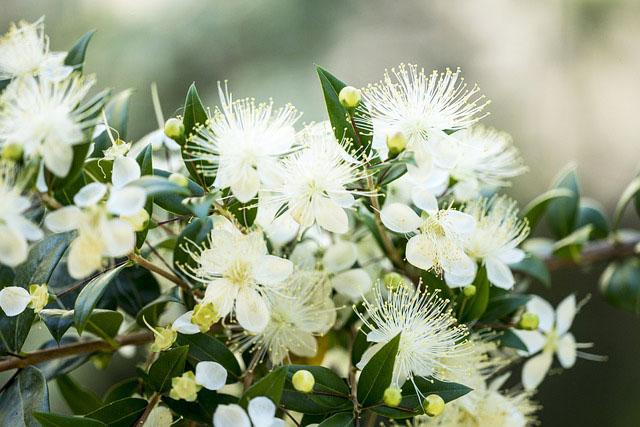 マートルの花